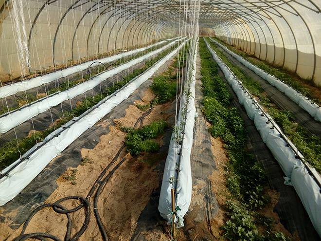 Aics Tunisi - Programma di sviluppo rurale integrato nelle delegazioni di Hazoua e Tamerza, governatorato di Tozeur (al sud della Tunisia) in una zona storicamente ricca di acque geotermali. La serra è riscaldata con acqua geotermale, la stessa che una volta raffreddata è utilizzata per l'irrigazione