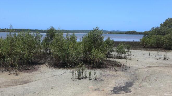 Mozambico- Mangrovie costiere